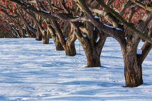 冬の柿畑の写真素材 [FYI03374694]
