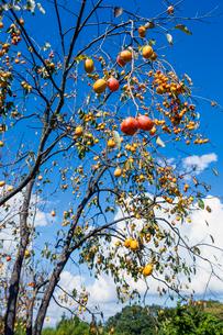 実る柿の写真素材 [FYI03374714]