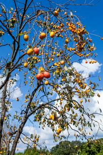 実る柿の写真素材 [FYI03374715]