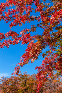 紅葉のナナカマドと青空の写真素材 [FYI03374725]