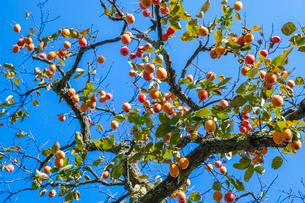 実る柿の写真素材 [FYI03374761]