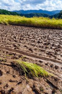 ぬかるむ刈入れ時の棚田と刈り残された稲の写真素材 [FYI03374781]