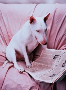 新聞を見るイヌ(ブルテリア)の写真素材 [FYI03375004]