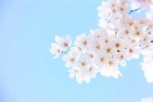 多摩川住宅に咲く桜の花と青空の写真素材 [FYI03375023]