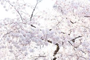 多摩川住宅に咲く桜の写真素材 [FYI03375028]