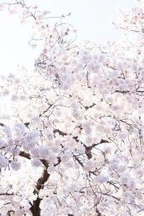 多摩川住宅に咲く桜の写真素材 [FYI03375029]
