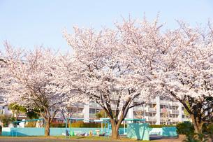 多摩川住宅に咲く桜の写真素材 [FYI03375034]