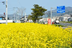 復興の菜の花道と県道240号の写真素材 [FYI03375175]