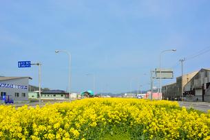 県道240号のグリーンベルトに植えられた菜の花の写真素材 [FYI03375196]