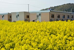 復興の菜の花道と仮設住宅の写真素材 [FYI03375197]