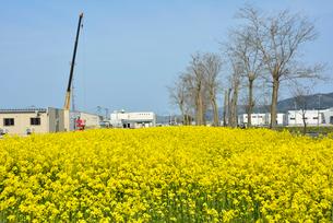 復興の菜の花道と建物を修復するクレーン車の写真素材 [FYI03375204]