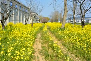 復興の菜の花道の写真素材 [FYI03375214]
