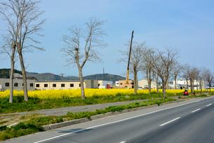 復興の菜の花道と県道240号の写真素材 [FYI03375215]