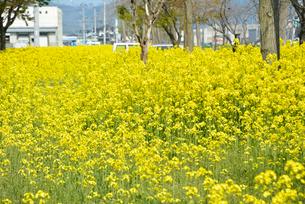 復興の菜の花道の写真素材 [FYI03375218]
