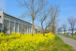 復興の菜の花道と県道240号の写真素材 [FYI03375225]