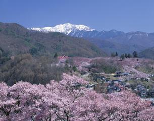 桜 高遠 南アルプス   長野県の写真素材 [FYI03375447]