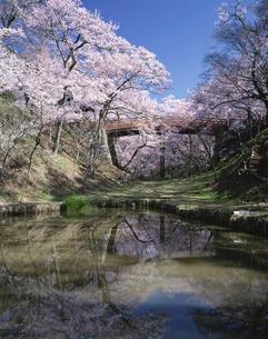 桜の高遠城址  長野県の写真素材 [FYI03375457]