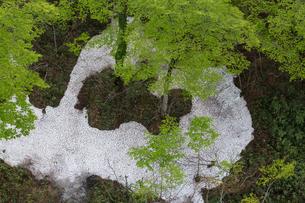 新緑の樹と残雪の写真素材 [FYI03375469]