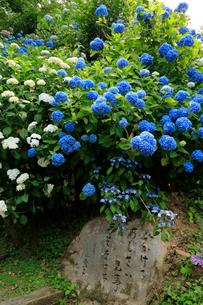 関西花の寺霊場第一番札所 あじさい寺の写真素材 [FYI03375822]