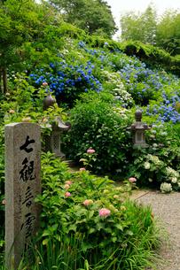 関西花の寺霊場第一番札所 あじさい寺の写真素材 [FYI03375851]