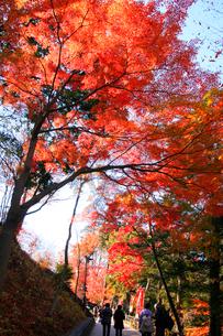 高尾山1合路沿いの高尾山国有林の紅葉の写真素材 [FYI03375862]