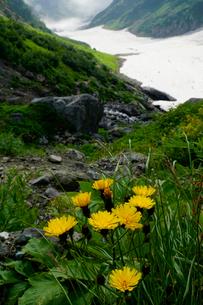 白馬岳の大雪渓沿いに咲くシロウマタンポポの写真素材 [FYI03375869]