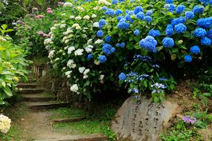 関西花の寺霊場第一番札所 あじさい寺の写真素材 [FYI03375870]