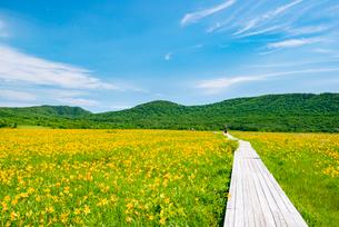 雄国沼湿原 ニッコウキスゲお花畑の一本道の写真素材 [FYI03375929]