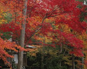 護法堂弁天と楓の紅葉  嵯峨野 京都の写真素材 [FYI03376054]