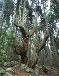 21世紀の森の株杉 板取村 岐阜県の写真素材 [FYI03376061]