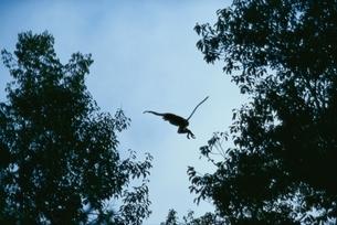 木の間をジャンプするテングザル ボルネオ島 インドネシアの写真素材 [FYI03376380]