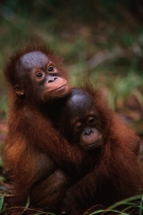寄り添う2匹のオランウータンの子供 ボルネオ島 インドネシアの写真素材 [FYI03376381]