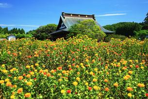 ベニバナ,長福寿寺の写真素材 [FYI03376401]