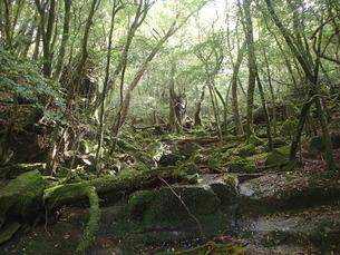 縄文杉登山・トロッコ道脇の苔の写真素材 [FYI03376467]