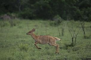 走るニャラ 11月 シュルシュルウィ動物保護区 南アフリカの写真素材 [FYI03376530]