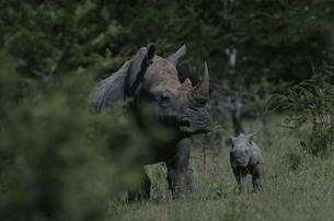 ウンクージ動物保護区のシロサイの親子 11月 南アフリカの写真素材 [FYI03376537]