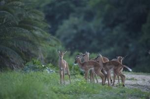 子供のインパラとアンテロープの群れ ナタール州 南アフリカの写真素材 [FYI03376538]