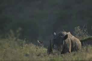 シロサイと鳥 10月 シュルシュルウィ動物保護区 南アフリカの写真素材 [FYI03376540]