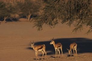 カラハリ砂漠の3頭のスプリングボック 北ケープ州 南アフリカの写真素材 [FYI03376542]