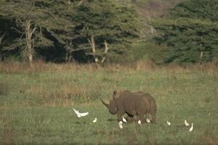 シロサイと白サギ ウンフォローズィ動物保護区 南アフリカの写真素材 [FYI03376544]