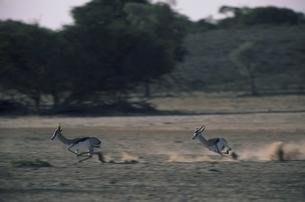 カラハリ砂漠の2頭のスプリングボック 北ケープ州 南アフリカの写真素材 [FYI03376547]