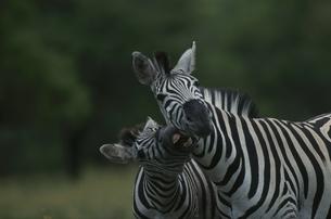 ウンフォローズィ動物保護区の2頭のシマウマ 南アフリカの写真素材 [FYI03376551]