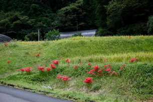 畦畔に生えるヒガンバナの写真素材 [FYI03376559]