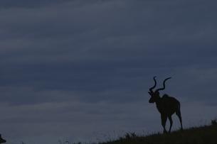 イタラ動物保護区のクーズー 12月 ナタール州 南アフリカの写真素材 [FYI03376566]