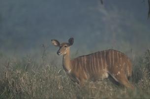 メスのニャラ 6月 ウンクージ動物保護区 南アフリカの写真素材 [FYI03376567]