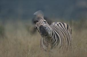 イタラ動物保護区のシマウマ 4月 ナタール州 南アフリカの写真素材 [FYI03376568]
