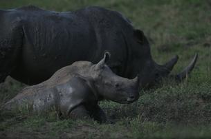 シュルシュルウィ動物保護区のシロサイの親子 10月の写真素材 [FYI03376569]