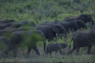 シュルシュルウィ動物保護区のアフリカゾウの群れ 9月の写真素材 [FYI03376580]
