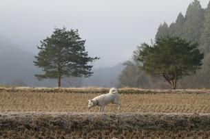 白い日本犬が田舎の畦道を散歩するの写真素材 [FYI03376599]