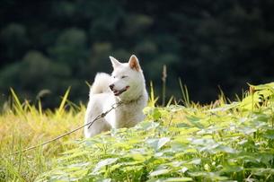 白い日本犬の写真素材 [FYI03376608]